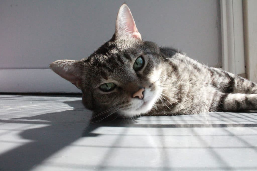 Color image of cat laying on floor.