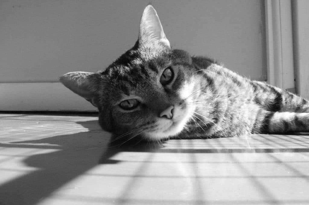 Grayscale image of cat laying on the floor.
